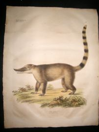 Goldfuss C1830 LG Folio Hand Colored Print. Coati